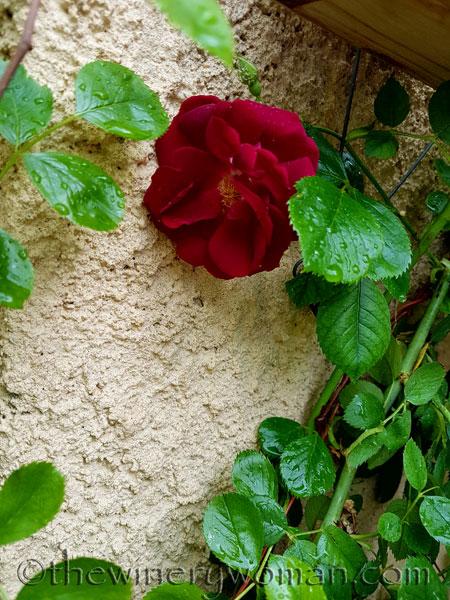 Raindrops_on_Roses4_5.9.18_TWW