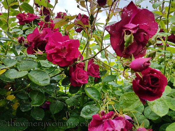 Raindrops_on_Roses6_5.9.18_TWW