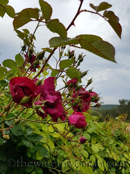 Raindrops_on_Roses_5.9.18_TWW