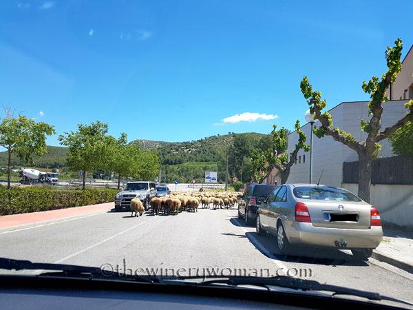 Sheep14_5.2.18_TWW