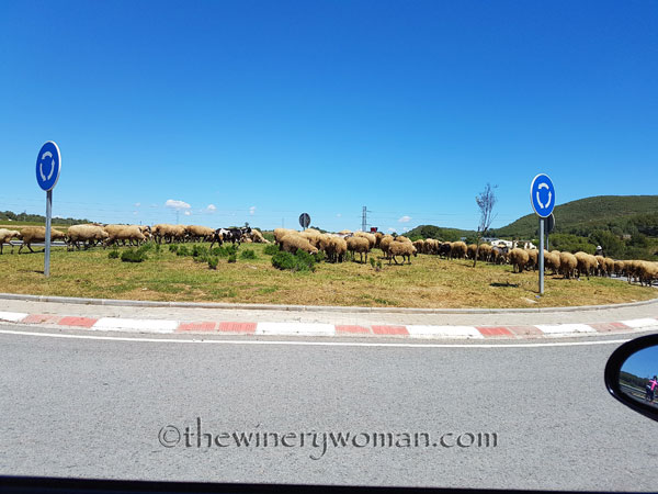 Sheep19_5.2.18_TWW