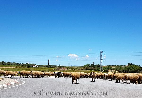 Sheep21_5.2.18_TWW
