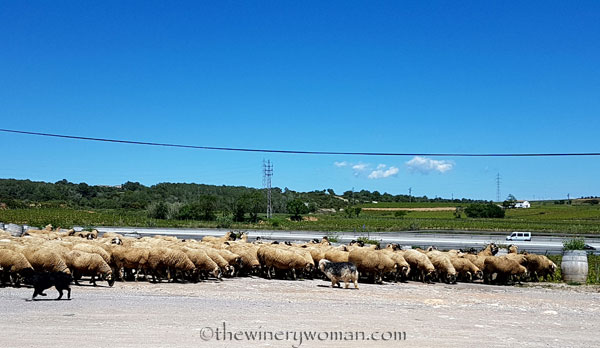 Sheep2_5.2.18_TWW