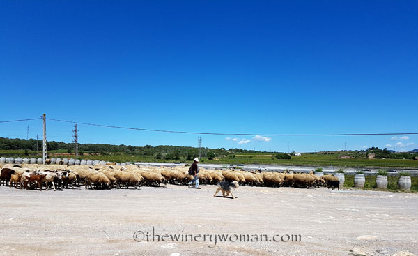 Sheep3_5.2.18_TWW