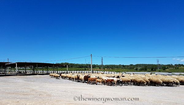 Sheep4_5.2.18_TWW