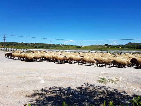 Sheep5_5.2.18_TWW