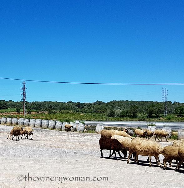 Sheep6_5.2.18_TWW