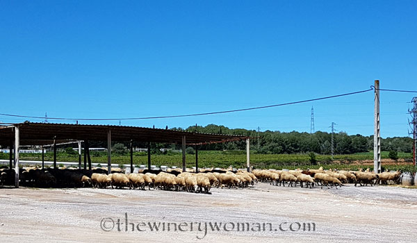 Sheep_5.2.18_TWW