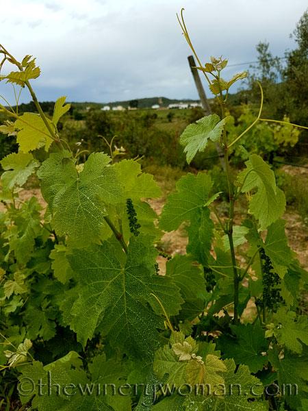 Vineyard12_5.3.18_TWW