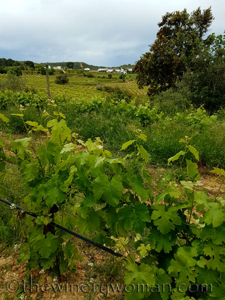 Vineyard13_5.3.18_TWW