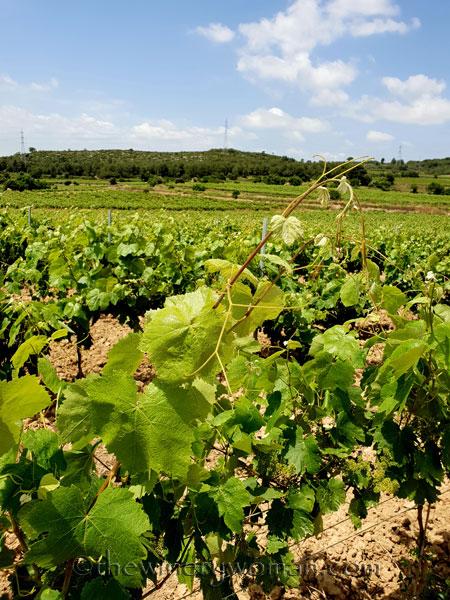 Vineyard2_5.28-29.18_TWW