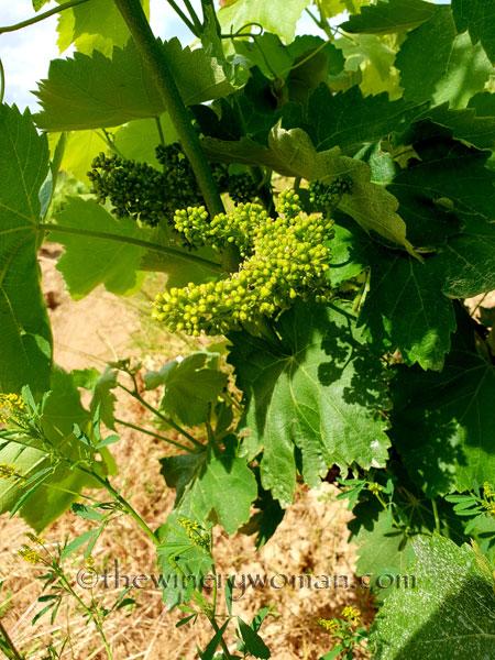 Vineyard9_5.28-29.18_TWW