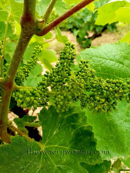 Vineyard_5.28-29.18_TWW