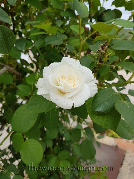White_Rose2_5.10.18_TWW
