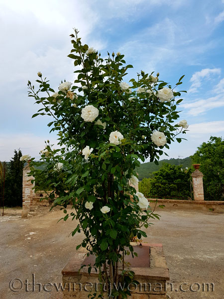 White_Rose_5.10.18_TWW