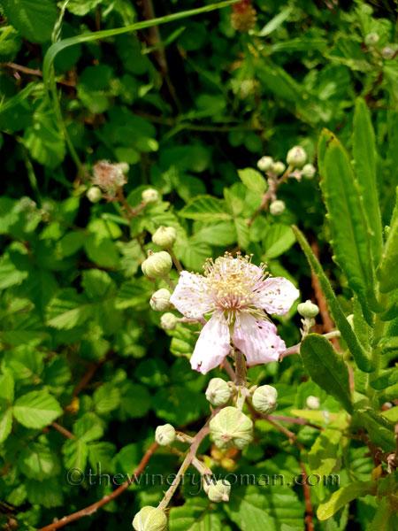 Wildflowers_Vineyard4_5.28.18_TWW