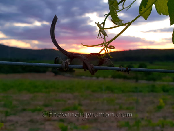 Old-and-New-Vines2_6.13.18_TWW