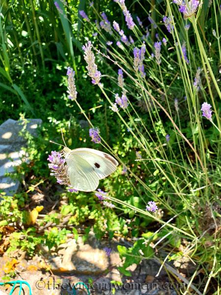 Lavender_7.13.18_TWW
