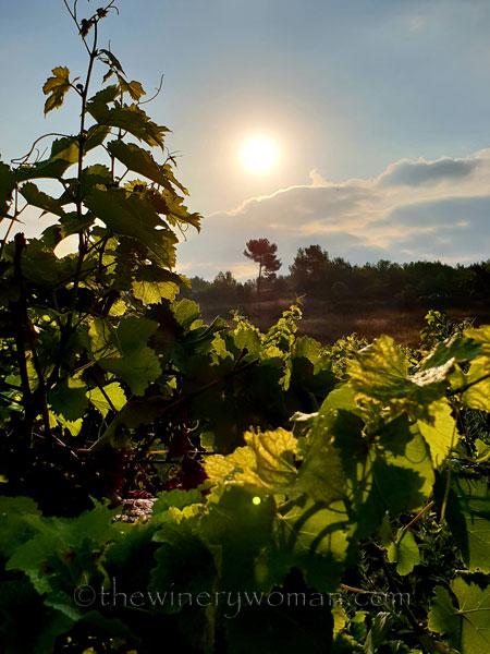 Vineyard10_7.29.18_TWW