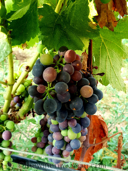 Vineyard11_7.29.18_TWW