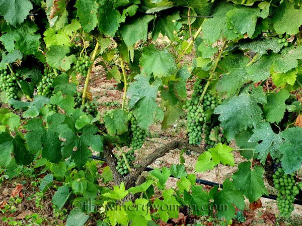 Vineyard12_7.29.18_TWW