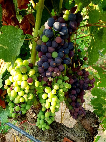 Vineyard13_7.29.18_TWW