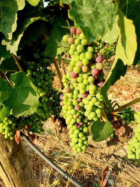 Vineyard14_7.29.18_TWW