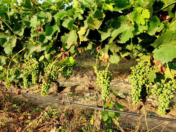 Vineyard15_7.29.18_TWW