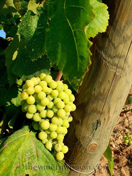 Vineyard16_7.21.18_TWW
