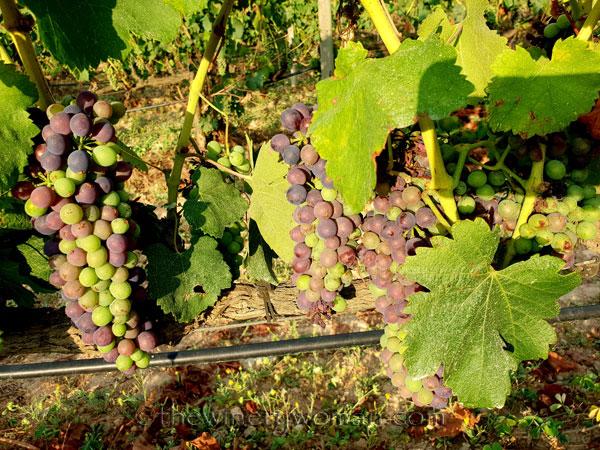 Vineyard16_7.29.18_TWW