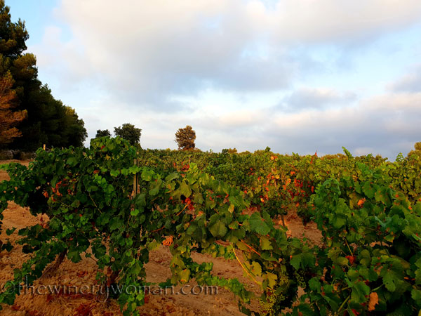 Vineyard17_7.15.18_TWW