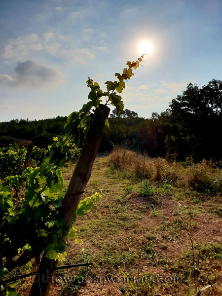 Vineyard19_7.29.18_TWW