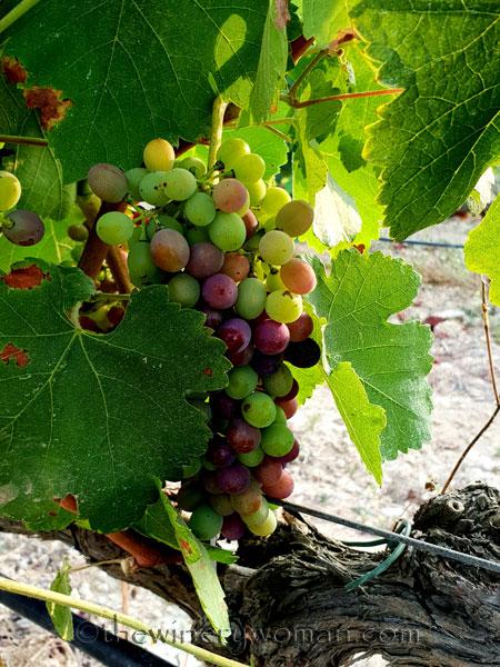 Vineyard2_7.29.18_TWW
