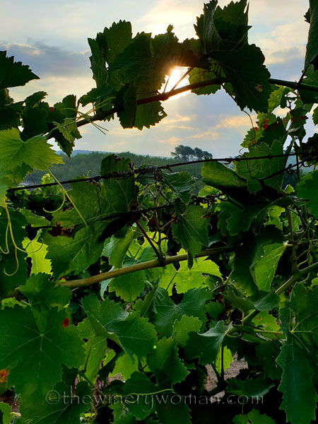 Vineyard3_7.29.18_TWW