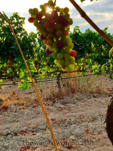 Vineyard4_7.29.18_TWW