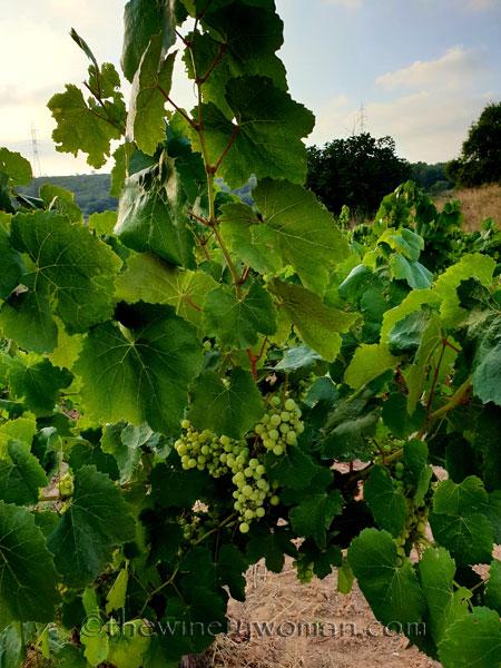 Vineyard6_7.15.18_TWW