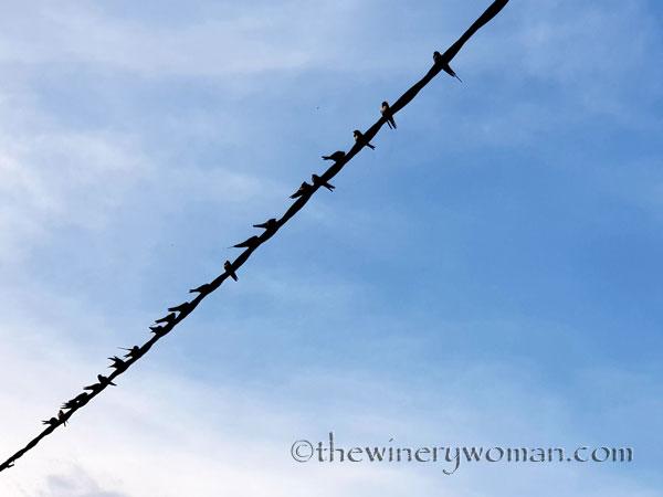 Birds_on_a_wire2_8.10.18_TWW