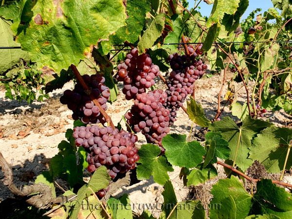Grapes10_8.24.18_TWW