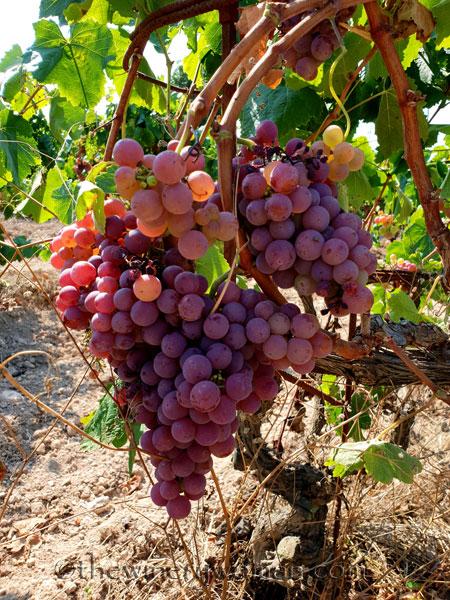 Grapes12_8.24.18_TWW