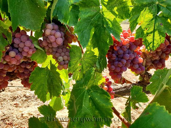 Grapes14_8.24.18_TWW