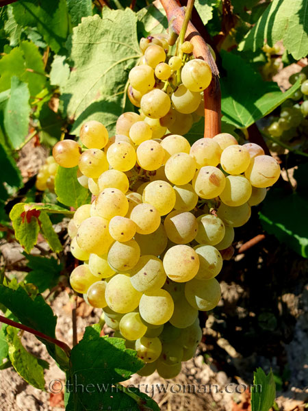 Grapes16_8.24.18_TWW
