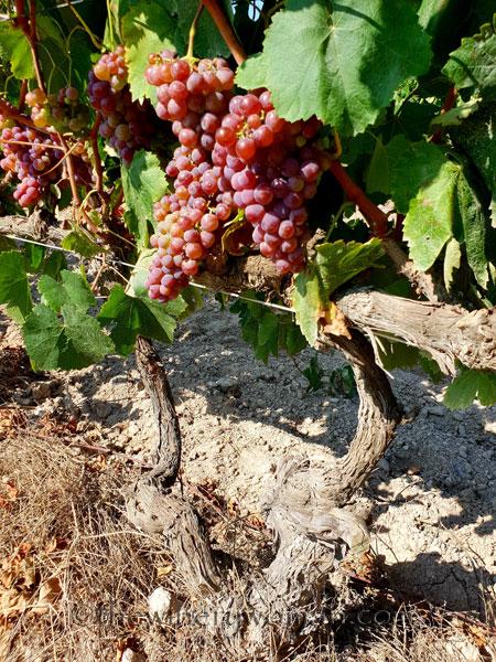Grapes17_8.24.18_TWW