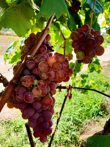 Grapes18_8.24.18_TWW