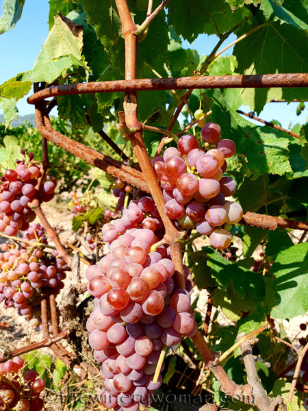 Grapes23_8.24.18_TWW
