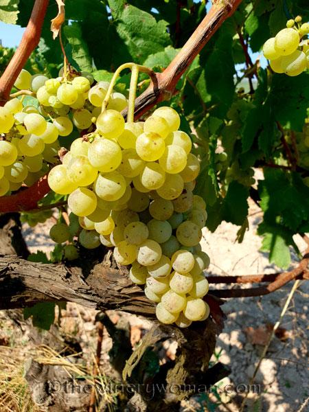 Grapes24_8.24.18_TWW