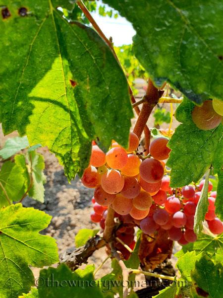 Grapes26_8.24.18_TWW