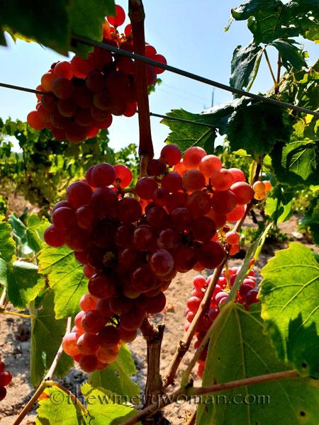 Grapes29_8.24.18_TWW