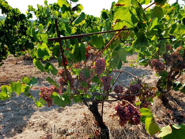 Grapes2_8.24.18_TWW