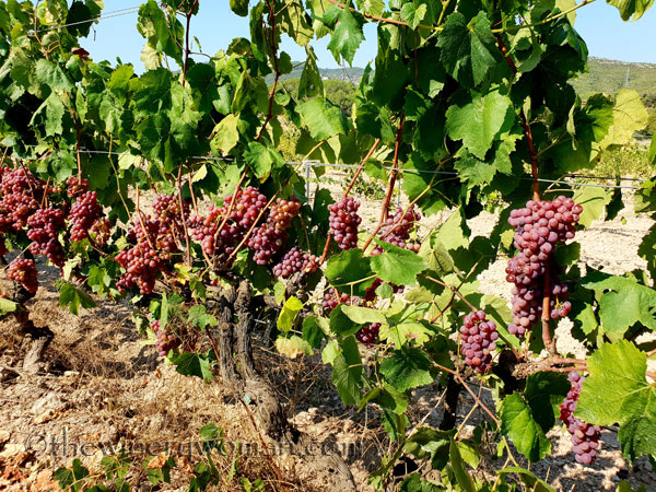 Grapes31_8.24.18_TWW