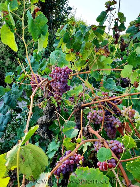 Grapes34_8.24.18_TWW